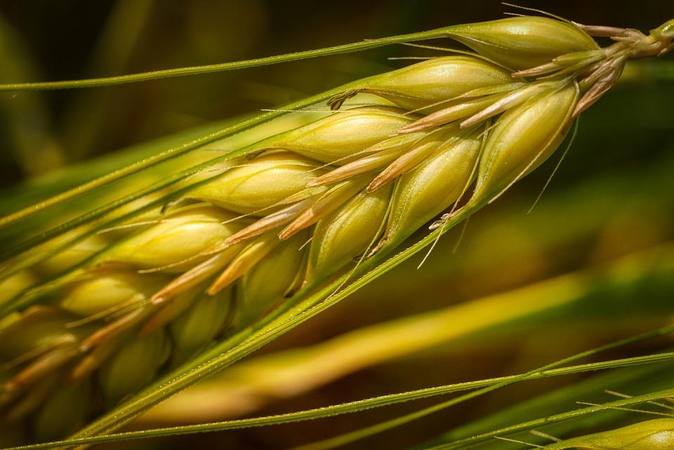 chicco di grano